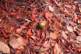 Photo: Oak green acorn embalmed leaf litter Santa Barbar 2012