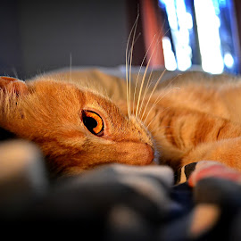 feline looks by Re Artù - Animals - Cats Portraits ( lovely, cat, looking, colorful, bedroom )