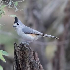 Titmouse by Angie Birmingham - Animals Birds ( bird, tree, grey, titmouse, songbird )