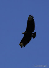 Photo: Black Vulture over San Blas