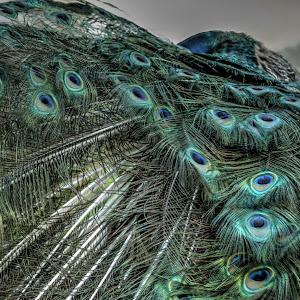 Peacock Feathers-1.jpg