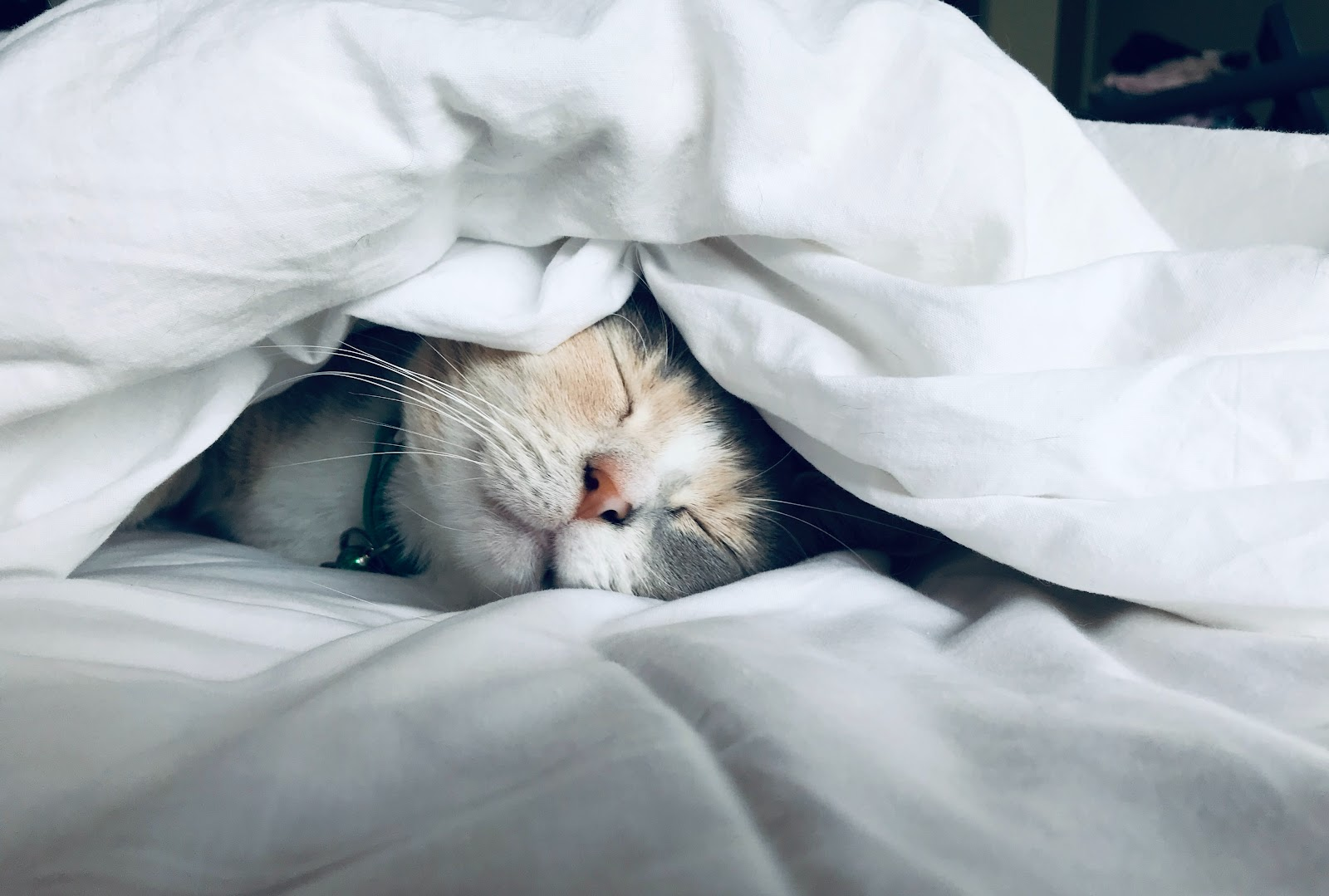 Cat sleeping under sheets