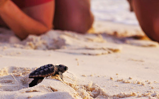 bonaire-turtle-hatchling.jpg - A turtle hatchling makes its way to the sea on Bonaire.