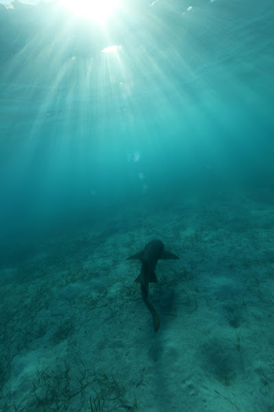 Photo: A nurse shark in the Bahamas swims toward the light. While they are generally harmless, I have seen them get curious about humans before and come in for a sniff. Perhaps foolish but my first impulse when I see a creature such as this is to grab my camera and jump in the water.