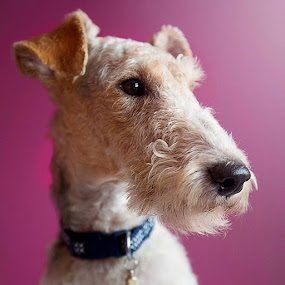 Badger the dog  by Alan Payne - Animals - Dogs Portraits ( studio, dog, wire fox terrier )