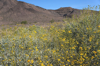 Photo: Desert wildflowers in the shadow of the Marble Mountains, just south of the Mojave Preserve.