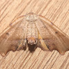 Hollow-spotted Plagodis - 6844