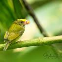Golden winged Manakin