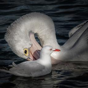 Friendship by Sharon Wills - Animals Birds ( bird, water, south australia, animals, friends, seagull, australian, friendship, goolwa, pelicans, birds, animal,  )