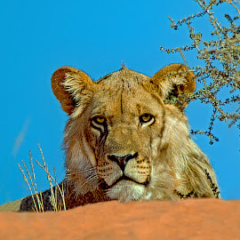 Lion in the Kgalagadi by Claudia Lothering - Animals Lions, Tigers & Big Cats