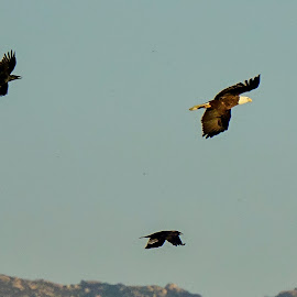 Flight Formation by Brendan Mcmenamy - Novices Only Wildlife ( san diego, flight, eagle, california, ramona, bald )