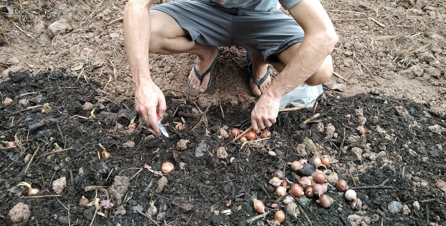 玉ねぎを植える