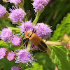 Goldenrod Soldier Beetle/Pennsylvania Leatherwing
