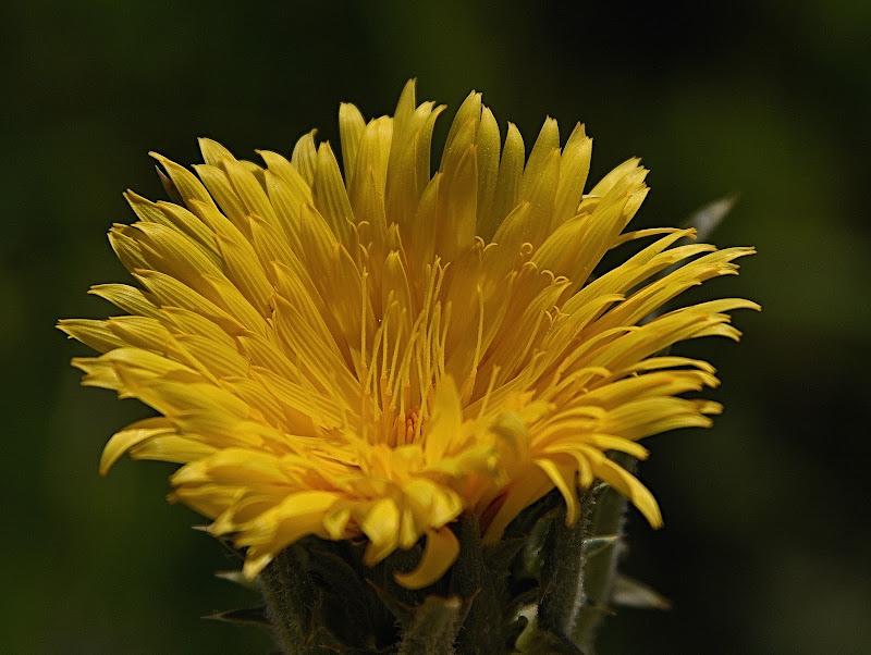 fiore d'aprile di Isidoro.