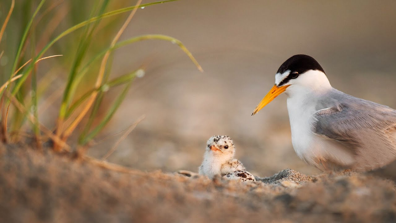 Little Tern Caring And Feeding Their Chick In The Rainy Day. - YouTube