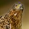 Falcon portrait.jpg