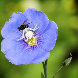 Flax flower with crab spider and captured fly 3.JPG