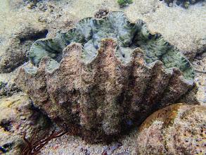 Photo: Hippopus hippopus (Bear Paw Clam), Miniloc Island Resort reef, Palawan, Philippines.