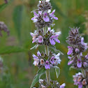Downy Woundwort
