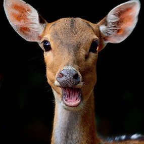 Deer head by Francois Wolfaardt - Animals Other Mammals ( face, nature, mamal, ears, close-up, animal, deer )
