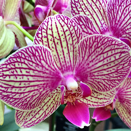 Orchid by Janette Ho - Flowers Single Flower (  )