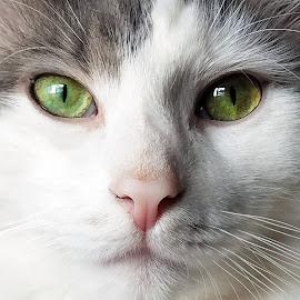 by Sandy Considine - Animals - Cats Portraits ( cat, green eyes,  )