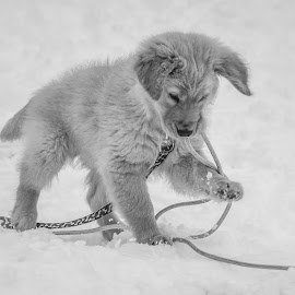 Eating the rope by Ivan Johnson - Animals - Dogs Playing (  )