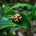 Six-spotted zigzag ladybird