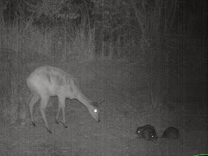 Photo: Female bushbuck approaching cane rats Fêmea de golungo aproximando-se das pacas