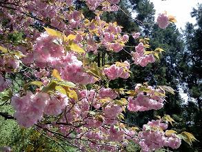 Photo: 国上寺。ちょうど八重桜が綺麗な時期。