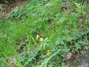 Photo: Zawilec gajowy - odmiana żółto kwitnąca