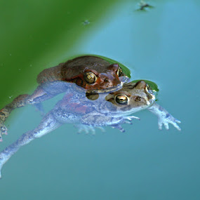 Mating Frogs by Elsa van Dyk - Animals Amphibians (  )