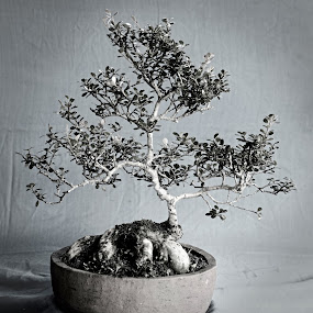 Bonsai by Boinao Oinam - Nature Up Close Other plants