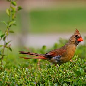 Cardinal by Nick Giallourakis - Novices Only Wildlife