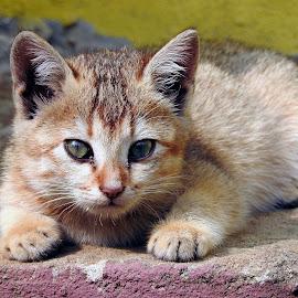 Kitten  by Asif Bora - Animals - Cats Kittens (  )