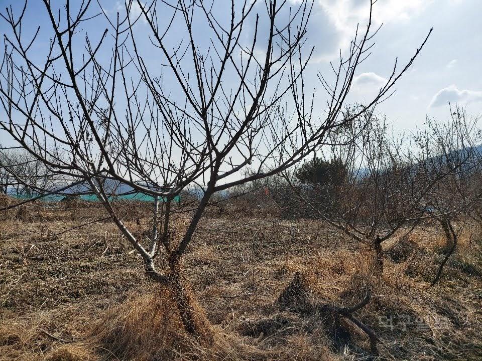 복숭아나무