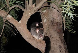 Photo: Possum, Gracetown Caravan Park