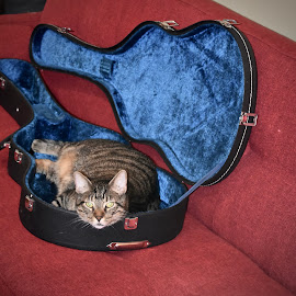 If it fits, I sits. by Viana Santoni-Oliver - Animals - Cats Portraits ( cat, male, domestic short hair, gray, portrait, dsh, sitting, red, nature, blue, pet, stripped, feline, animal, guitar case )