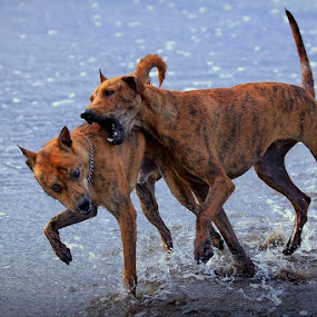 by Ibe Lase - Animals - Dogs Playing