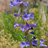 Bluestem Penstemon