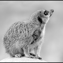 Meerkat by Dave Lipchen - Black & White Animals ( meerkat )