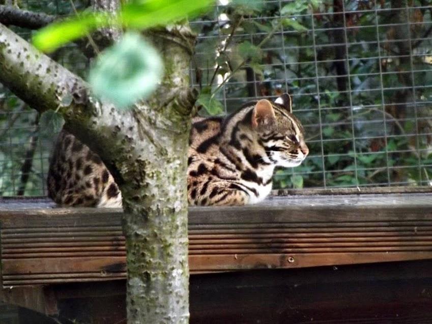 Chat léopard du Bengale, Parc des Félins - Tous droits réservés