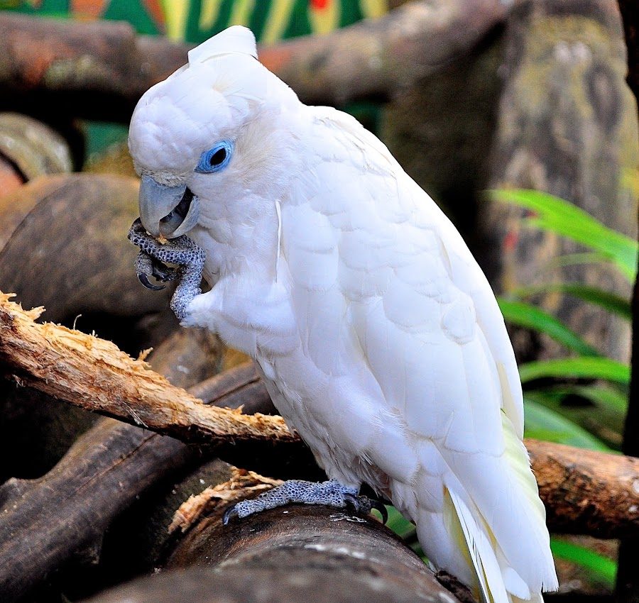 White Parrot by Alvin Cheah - Animals Birds ( pwctaggedbirds )