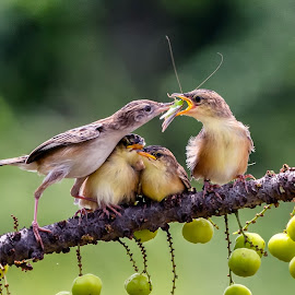 Feeding time by Bernard Tjandra - Animals Birds