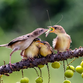 Feeding time by Bernard Tjandra - Animals Birds