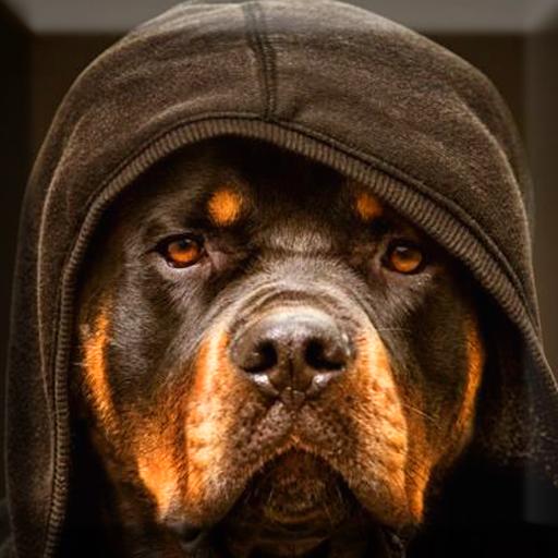 Rottweiler Wallpaper: Download Rottweiler Wallpaper For PC