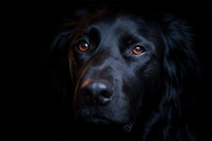 Out of Dark by Jens Klappenecker-Dircks - Animals - Dogs Portraits ( labrador retriever, grosser muensterlaender, out of dark, family, fujifilm, dark, pelle, fuji, dog portrait, brother, dog, friend )
