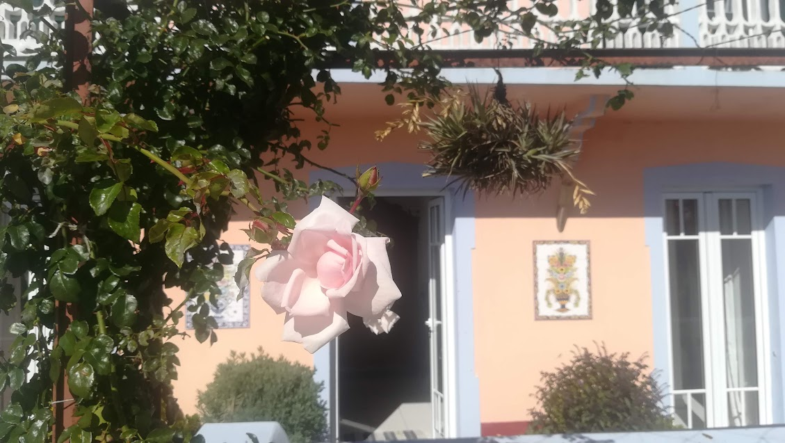the beautiful New Dawn roses adorn the facade of our Madeira house.