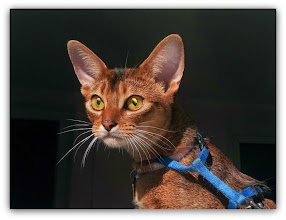 Photo: Shafran Fair Farabi. Abyssinian cat. Female. 1year