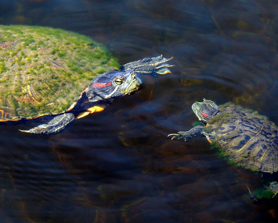 Two Turtles by Kevin Rapuano - Novices Only Wildlife ( water, nature, wildlife, lake, reptile, turtle )
